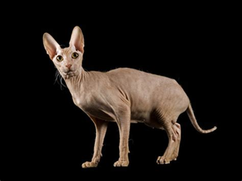Chat Peterbald : chat et chaton