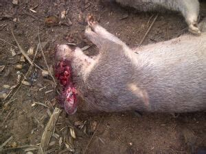 Pictures Of Bush Rat(okete) Killed Today - Nairaland