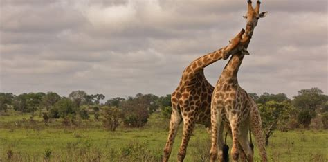 30 Most Random Facts About Giraffes   The Fact Site