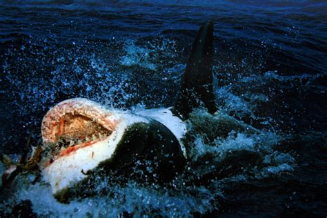 Great White Sharks Protected Under California Law