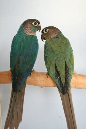The violet factor | Green cheecked conure