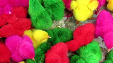 poussins de couleur - YouTube