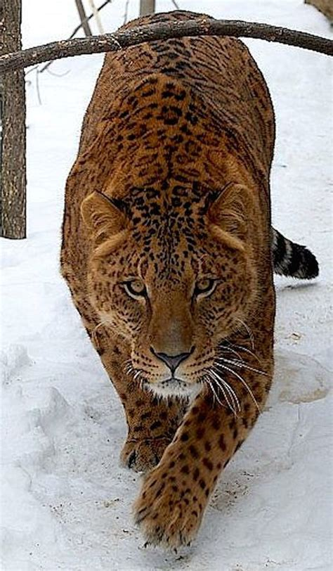 A Jaglion or Jaguon, a cross between a male Jaguar and a