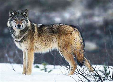 RP Les loups RP - RP (Role Play)