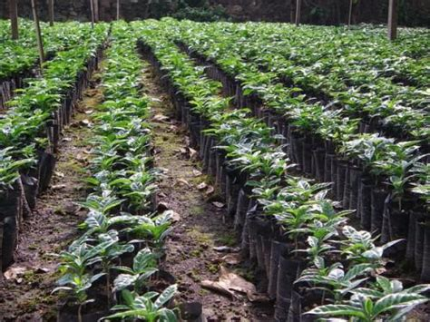 Cameroon: Towards the end of deficit in coffee plants